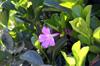 Bignonia magnifica W.Bull. Liane entonnoir