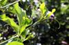 Vrilles et feuilles Bignonia magnifica W.Bull.