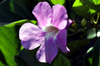 Bignonia magnifica W.Bull
