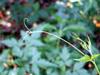 Cardiospermum halicacabum L. var. microcarpum (Kunth) Blume. Feuilles.