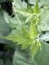 Cardiospermum halicacabum L. var. microcarpum (Kunth) Blume.