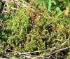 Lindernia rotundifolia (L.) Alston.