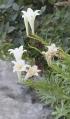 Lilium longiflorum. Lys de Pâques. Lis Saint-Joseph.