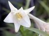 Fleur Lilium longiflorum.