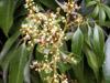 Litchi ou letchi fleurs