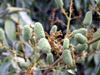 Litchi ou letchi fruits verts