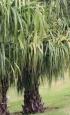 Livistona saribus. Palmier crocodile. Taraw Palm.