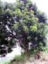 Dimocarpus longan Lour