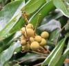 Longani, longanier. Fruit : longane ou longani - Dimocarpus longan