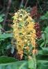 Longose à fleurs jaunes, Hédychie de Gardner
