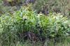 Hedychium flavescens.