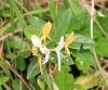 Lonicera japonica Thunb