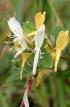 Lonicera japonica Thunb. Chèvrefeuille du Japon.