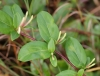 Lonicera japonica Thunb.