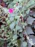 Lophospermum erubescens. Liane Maurandya.