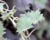 Feuilles Lophospermum erubescens.
