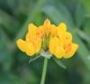 Lotus pedunculatus Cav