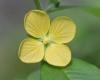 Ludwigia erecta (L.) H.Hara