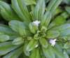 Lysimachia mauritiana Lam. Lysimaque de Maurice.