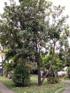 Macadamier ou Noyer du Queensland - Macadamia integrifolia