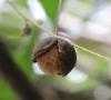 Fruit : Macadamier ou Noyer du Queensland - Macadamia integrifolia