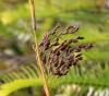 Machaerina iridifolia (Bory) T. Koyama