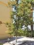 Magnolia grandiflora L