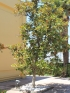 Magnolia à grandes fleurs. Magnolia grandiflora