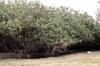 Mahot bord de mer ou Ketmie à feuilles de tilleul. Hibiscus tiliaceus