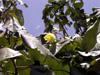 Fleur et feuilles Mahot bord de mer ou Ketmie à feuilles de tilleul. Hibiscus tiliaceus