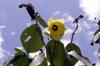 fleur Mahot bord de mer ou Ketmie à feuilles de tilleul. Hibiscus tiliaceus