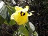 Mahot bord de mer, Hibiscus tiliaceus