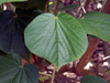 Feuille, Mahot bord de mer, Hibiscus tiliaceus