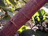 Branche, Mahot bord de mer ou Ketmie à feuilles de tilleul. Hibiscus tiliaceus