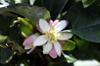 Fleur : Main de Bouddha