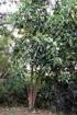 Noni, nono, malaye, Mûrier indien - Morinda citrifolia