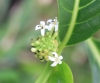Fleurs : Noni, nono, malaye, Mûrier indien - Morinda citrifolia L.