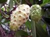 Fruits : Noni, nono, malaye, Mûrier indien - Morinda citrifolia L.