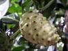 Fruit : Noni, nono, malaye, Mûrier indien - Morinda citrifolia L.