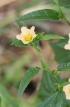 Malvastrum coromandelianum (L.) Garcke.