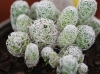 Mammillaria gracilis Pfeiff