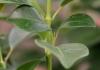 Mandévilla. Dipladénia. jasmin du Brésil.