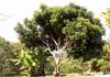 Manguier mangue Mangifera indica
