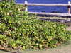 Manioc marron Scaevola taccada. Manioc bord de mer, Veloutier vert, Grosse patte poule