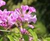 Mansoa alliacea (Lam.) A. Gentry