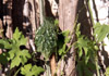 Margose. Momordica charantia