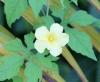 Margose : Fleur