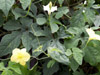 Margose : Fleurs