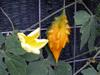 Margose : Fleur et fruit