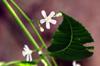 Azadirachta indica A.Juss